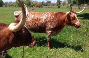 Texas Longhorns near Round Top, TX