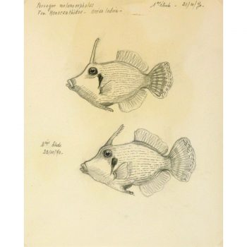 Vintage Pencil Drawing spotted grunt fish/harlequin sweetlips by Marcel Bourgeois - detail - 9305