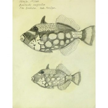 Vintage Pencil Drawing of clown triggerfish by Marcel Bourgeois 9306