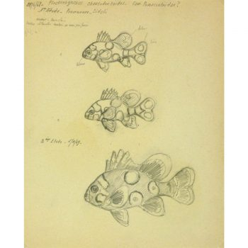 Antique Pencil Drawing Fish - 9293