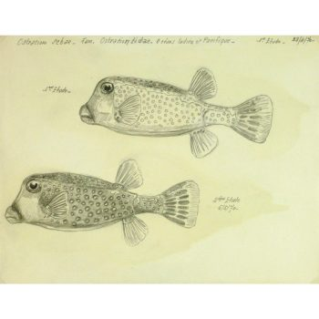 Vintage Pencil Drawing of Boxfish by Marcel Bourgeois 9292M