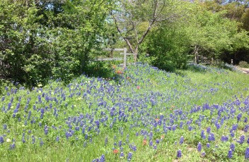 Blue Bonnet roadside flowers near Round Top, TX