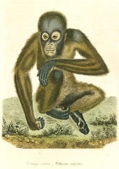 Orangutan Engraving-main-6200K
