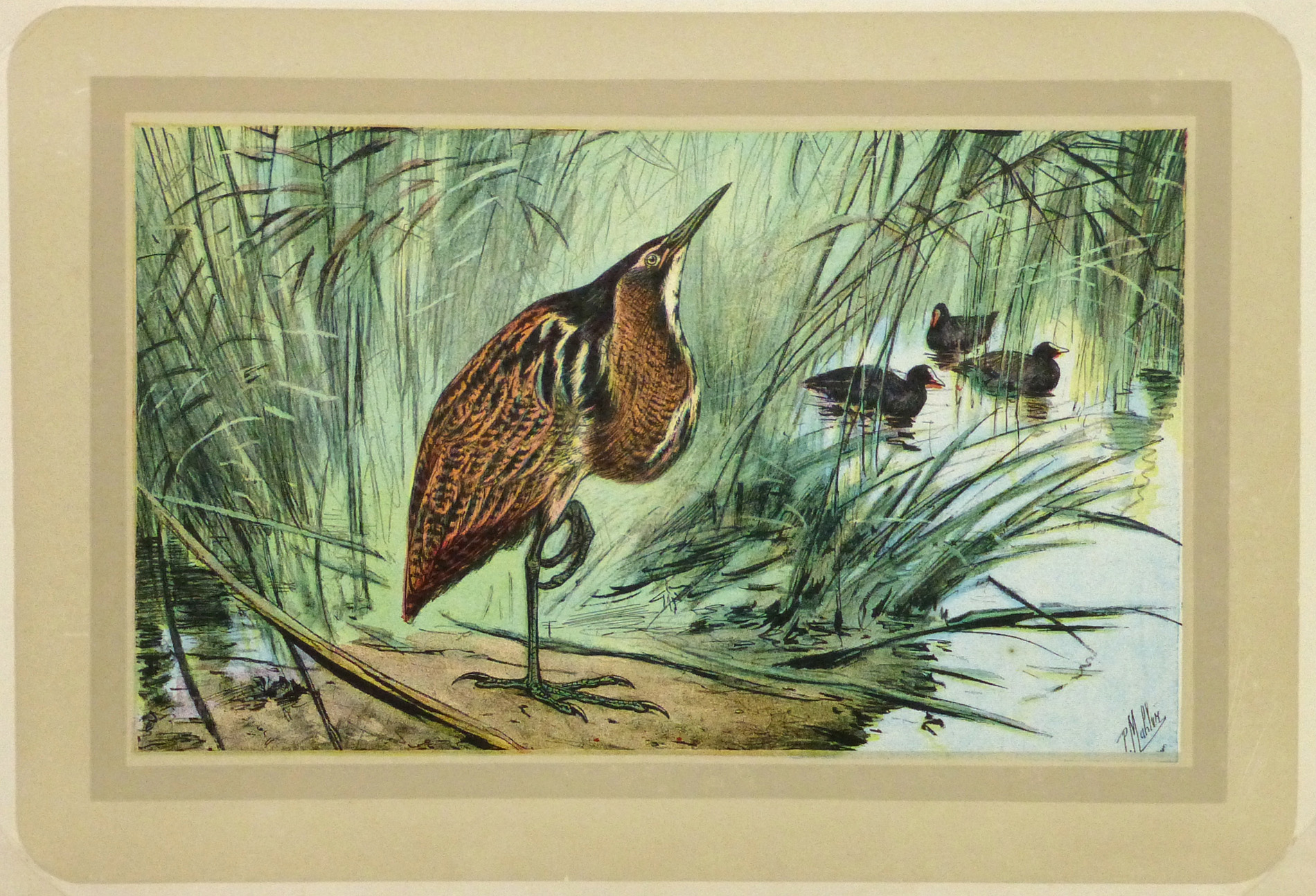 Bittern Wading Bird Lithograph-main-9217K