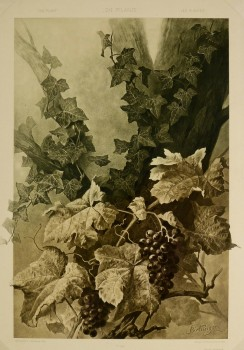 Grape Vines Lithograph-main-KB1646