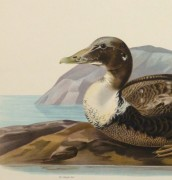 Common Eider Duck Print, 1929-detail 2-10418M
