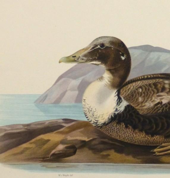Common Eider Duck Print, 1929-detail 2-10418M
