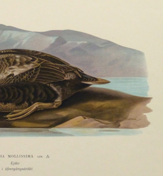 Common Eider Duck Print, 1929-detail-10418M