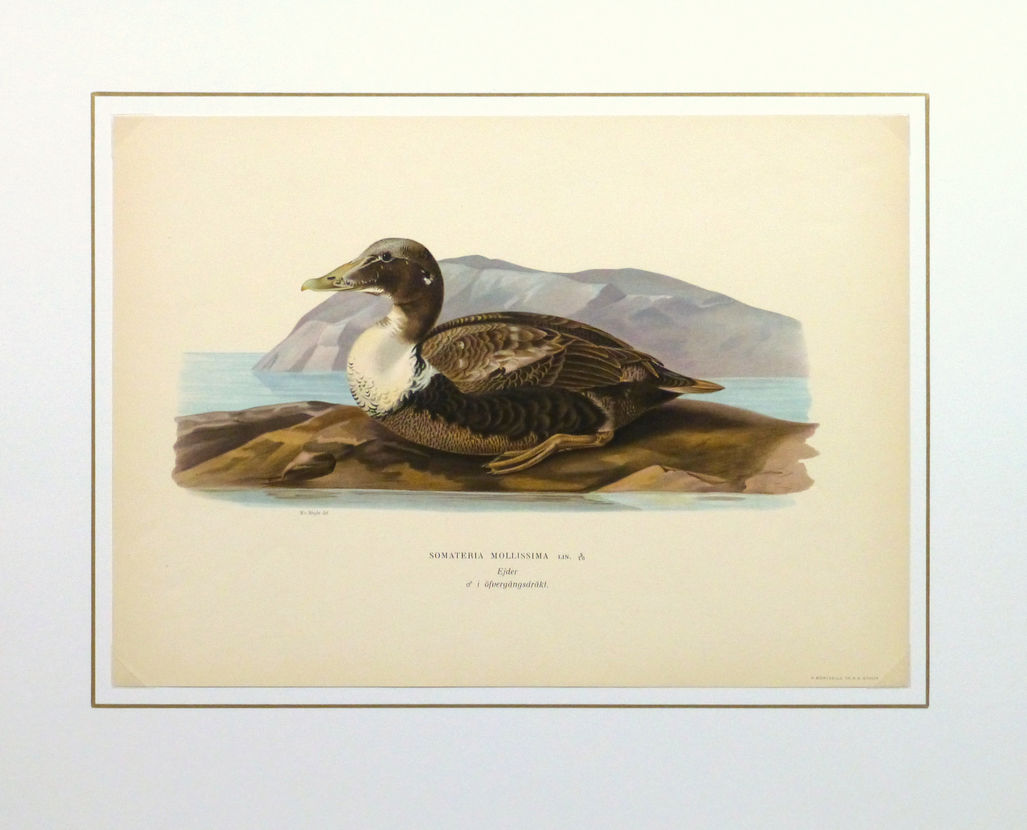 Common Eider Duck Print, 1929-matted-10418M