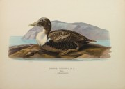 Common Eider Duck Print, 1929-main-10418M