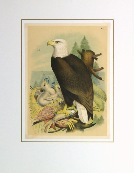 Bald Eagle Print, 1881-matted-10419M