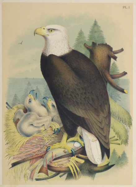 Bald Eagle Print, 1881-main-10419M