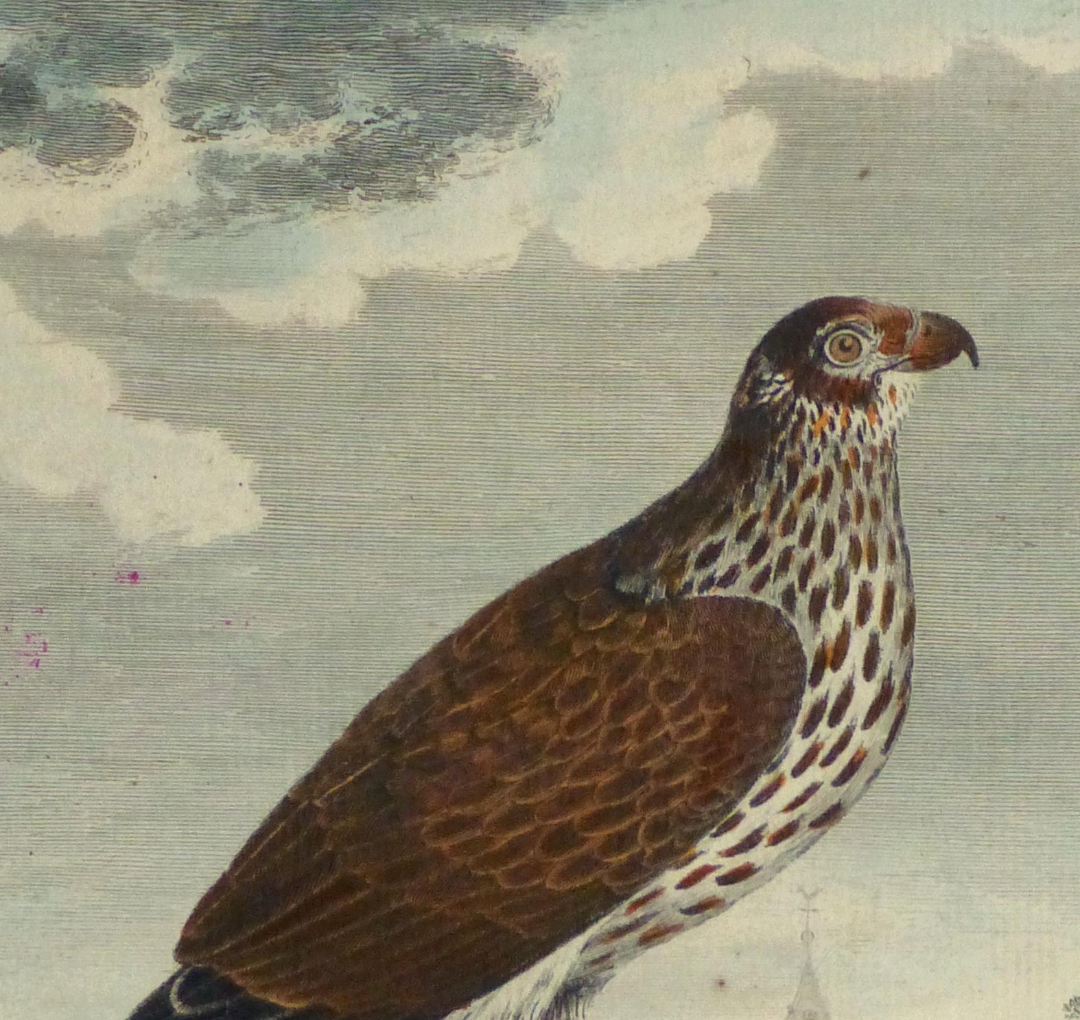 Bird of Prey Print, Circa 1770-detail 2-10423M