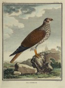 Bird of Prey Print, Circa 1770-main-10423M