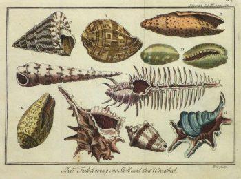 Shell Print, Circa 1750-main-10424M