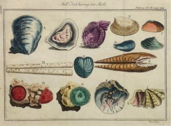 Clam Shells Print, Circa 1750-main-10425M