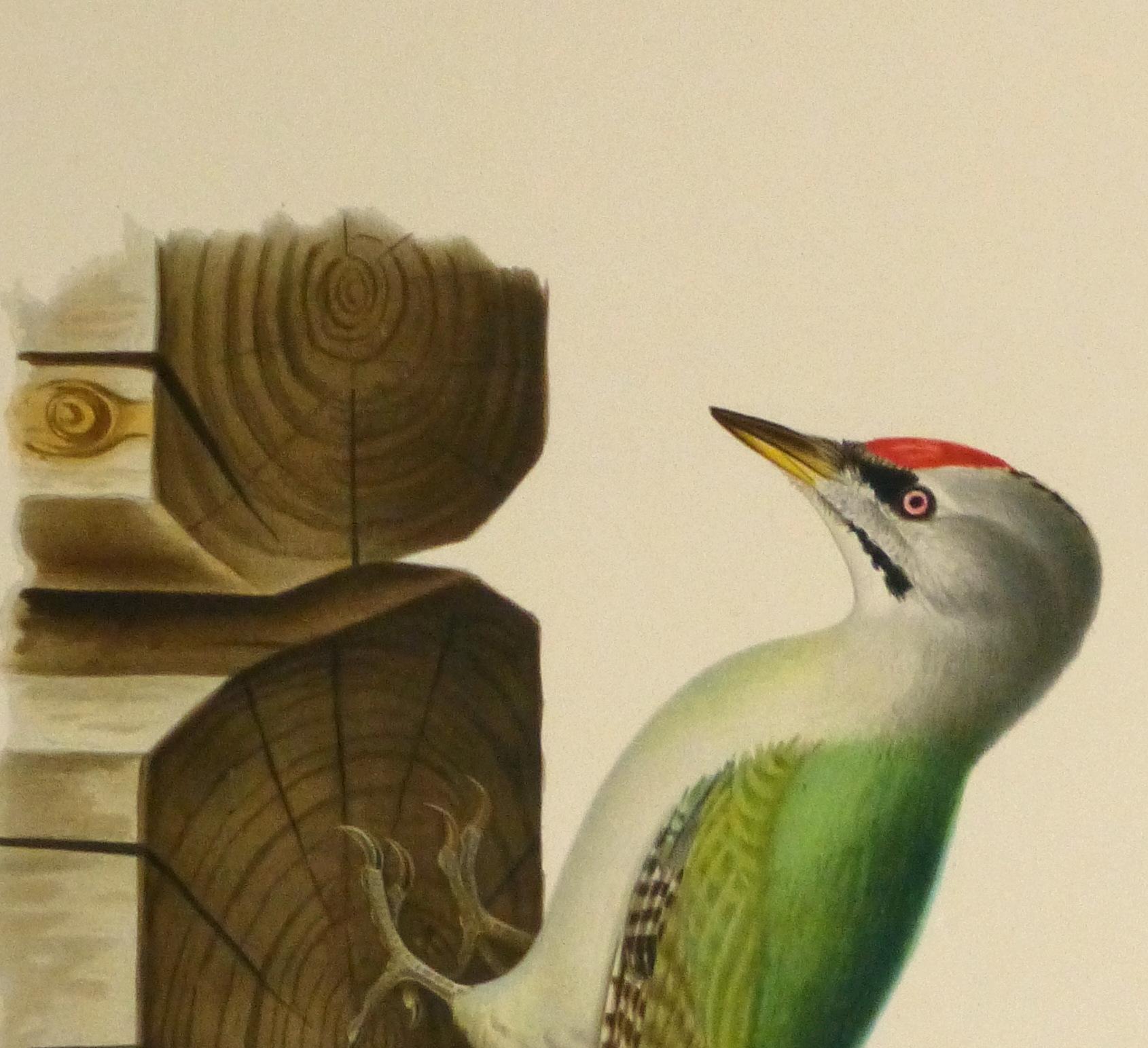 Grey Headed Woodpecker Print, 1929-detail 2-10426M