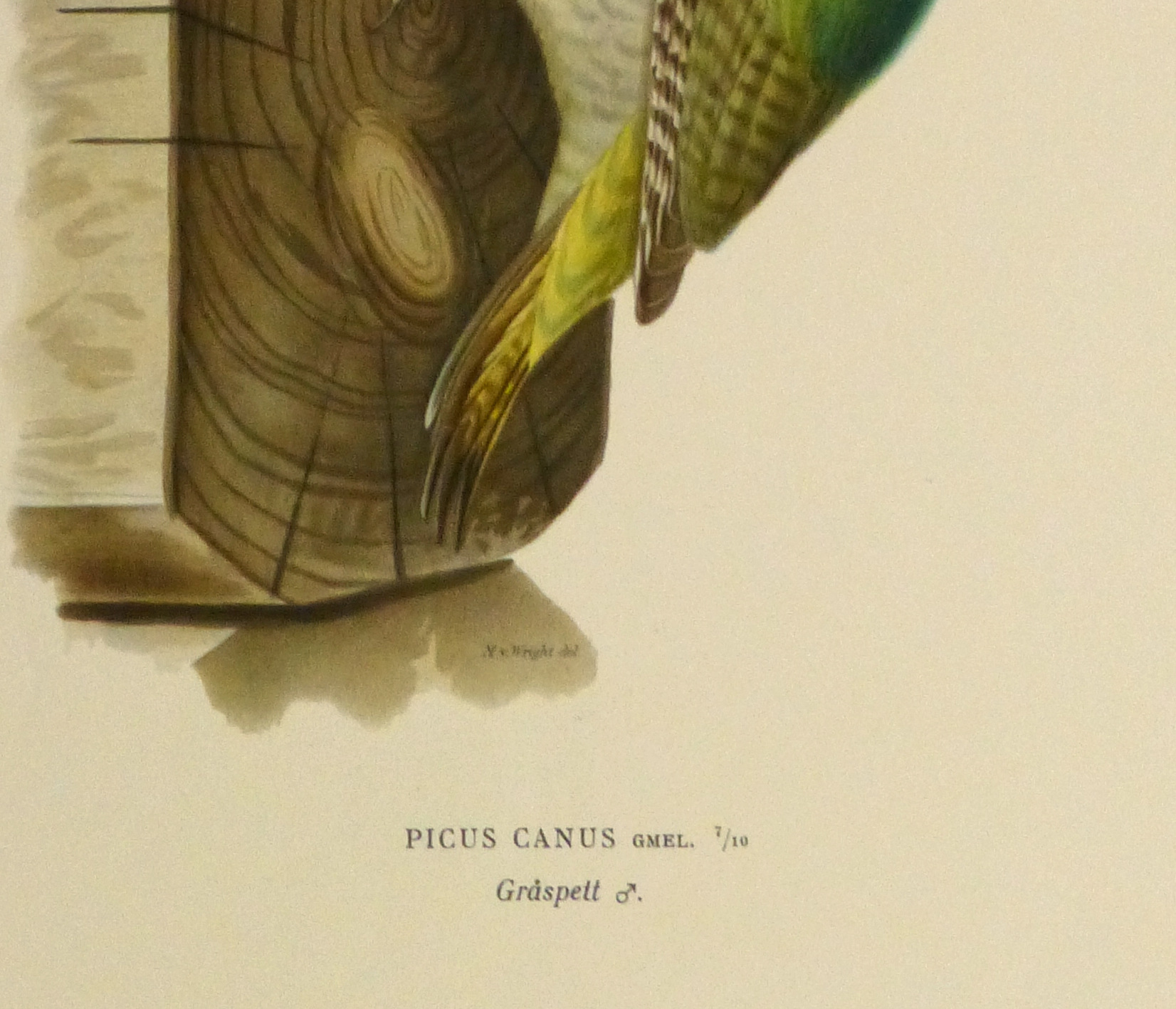 Grey Headed Woodpecker Print, 1929-detail-10426M