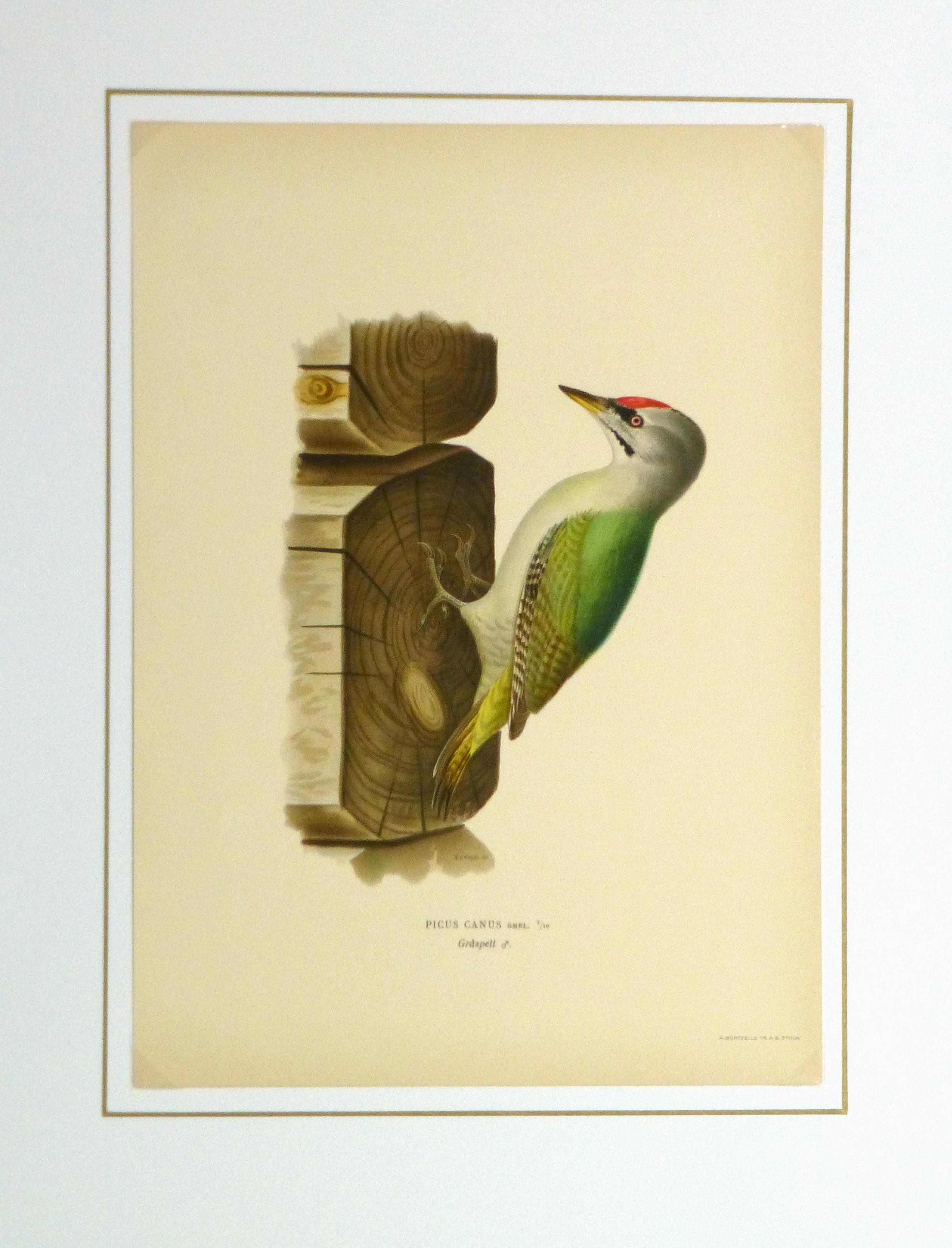 Grey Headed Woodpecker Print, 1929-matted-10426M