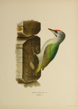 Grey Headed Woodpecker Print, 1929-main-10426M