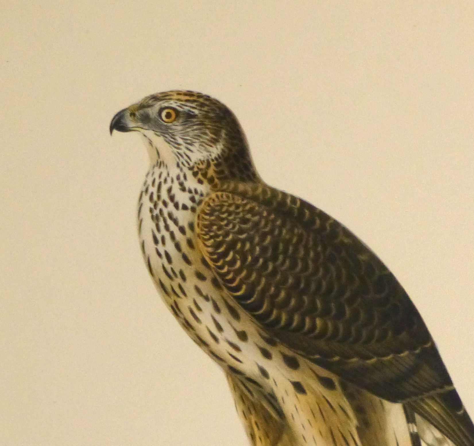Northern Goshawk Print, 1929-detail 2-10427M