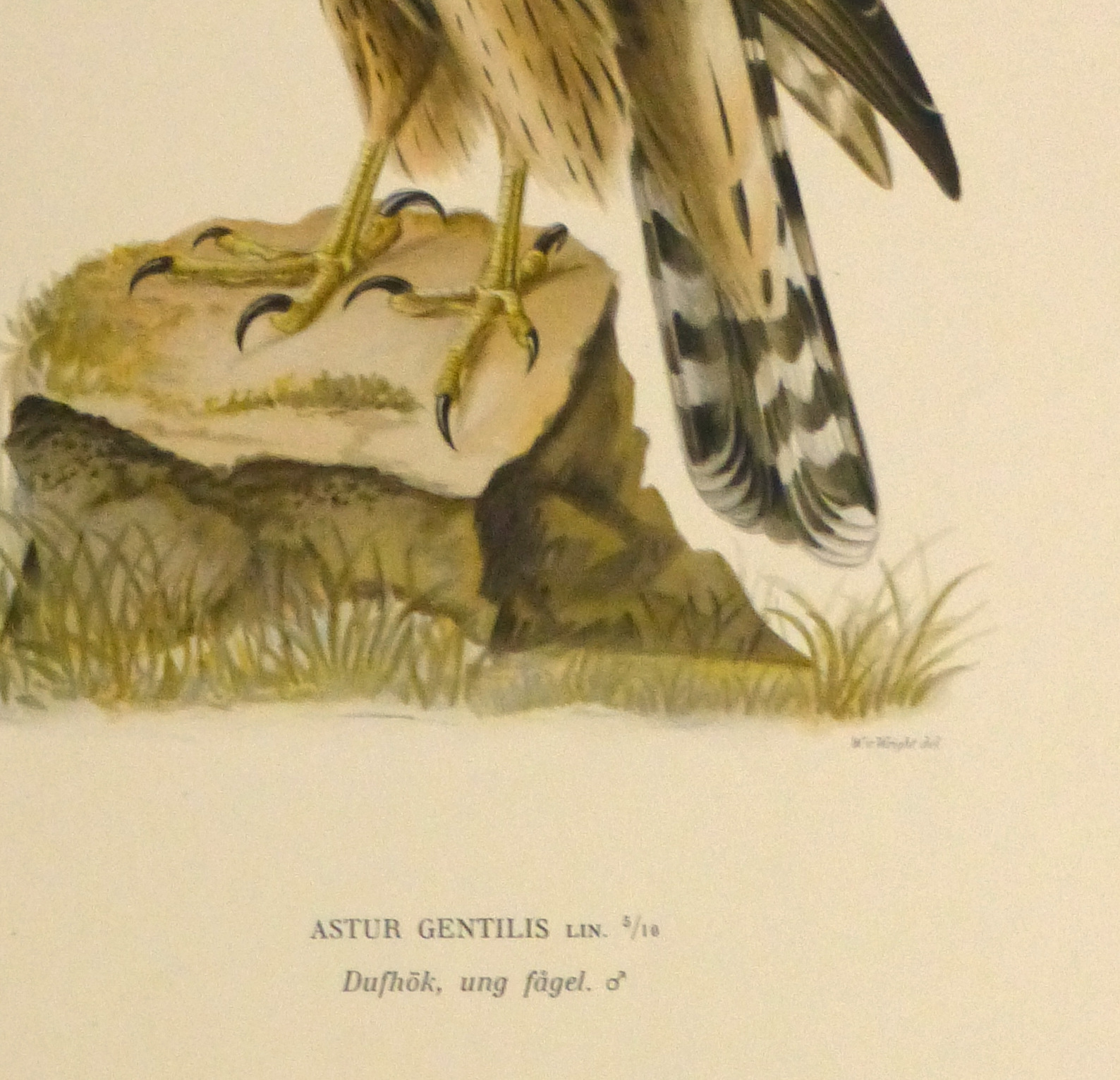 Northern Goshawk Print, 1929-detail-10427M