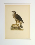 Northern Goshawk Print, 1929-matted-10427M