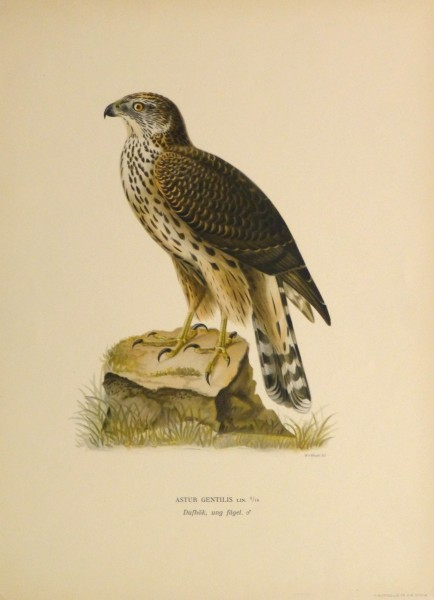 Northern Goshawk Print, 1929-main-10427M
