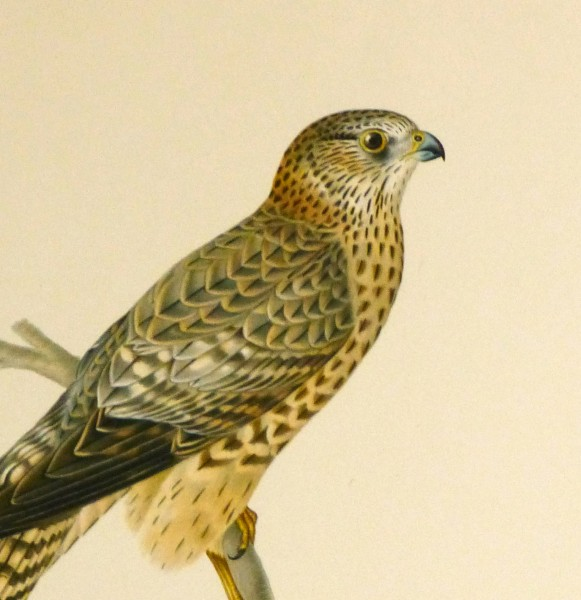 Merlin Falcon Print, 1929-detail 2-10428M