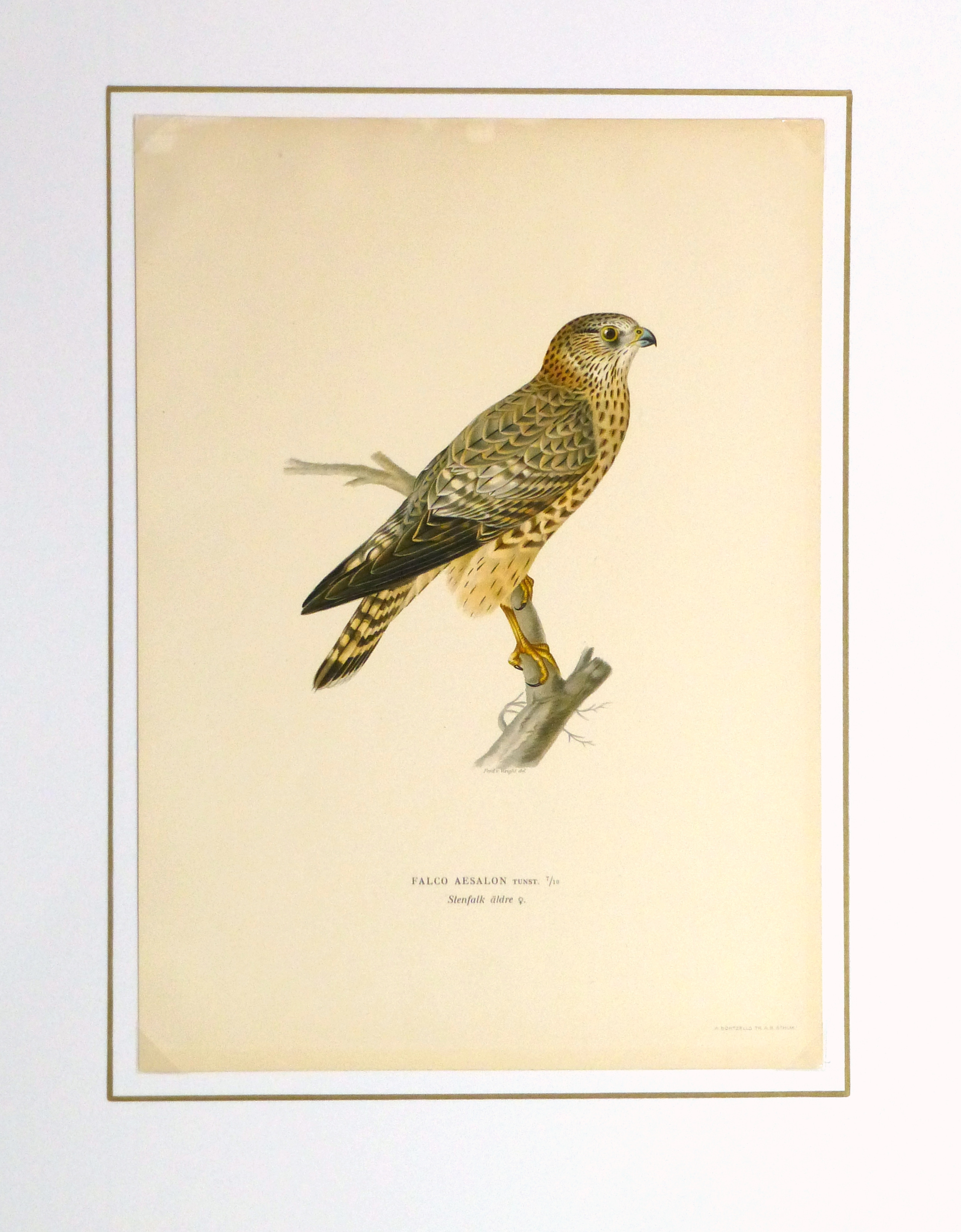 Merlin Falcon Print, 1929-matted-10428M