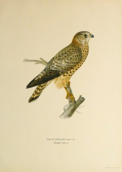 Merlin Falcon Print, 1929-main-10428M