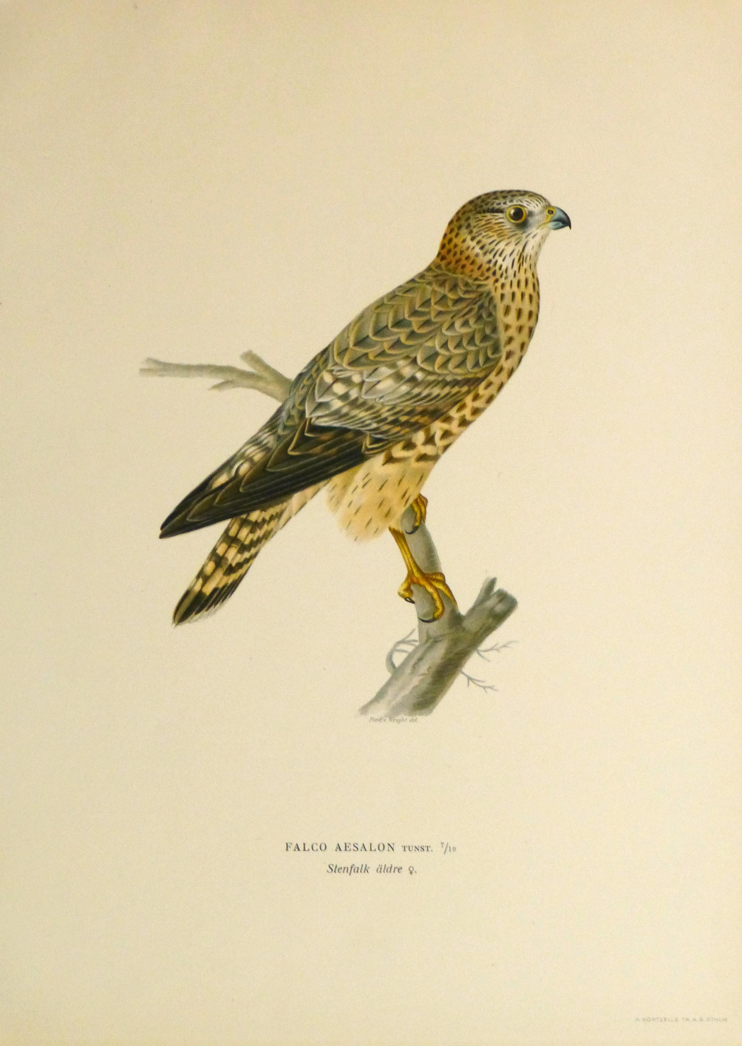 Merlin Falcon Print, 1929-main-10428M