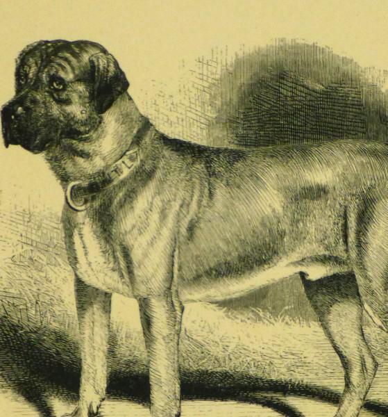 Mastiff Engraving, 1886-detail-8817K