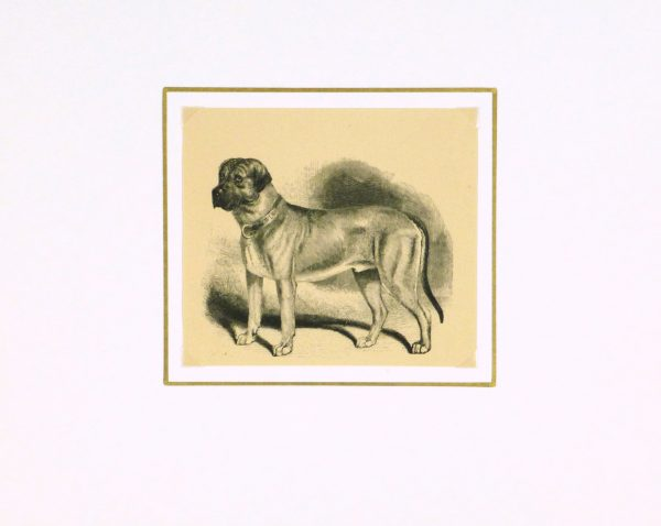 Mastiff Engraving, 1886-matted-8817K