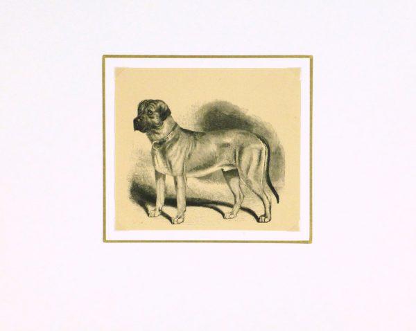 Mastiff Engraving, 1886-matted-8817K