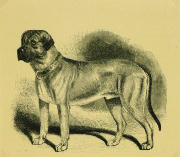 Mastiff Engraving, 1886-main-8817K