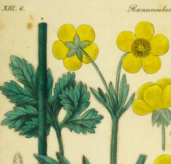 Buttercup, Circa 1830-detail 2-9031K