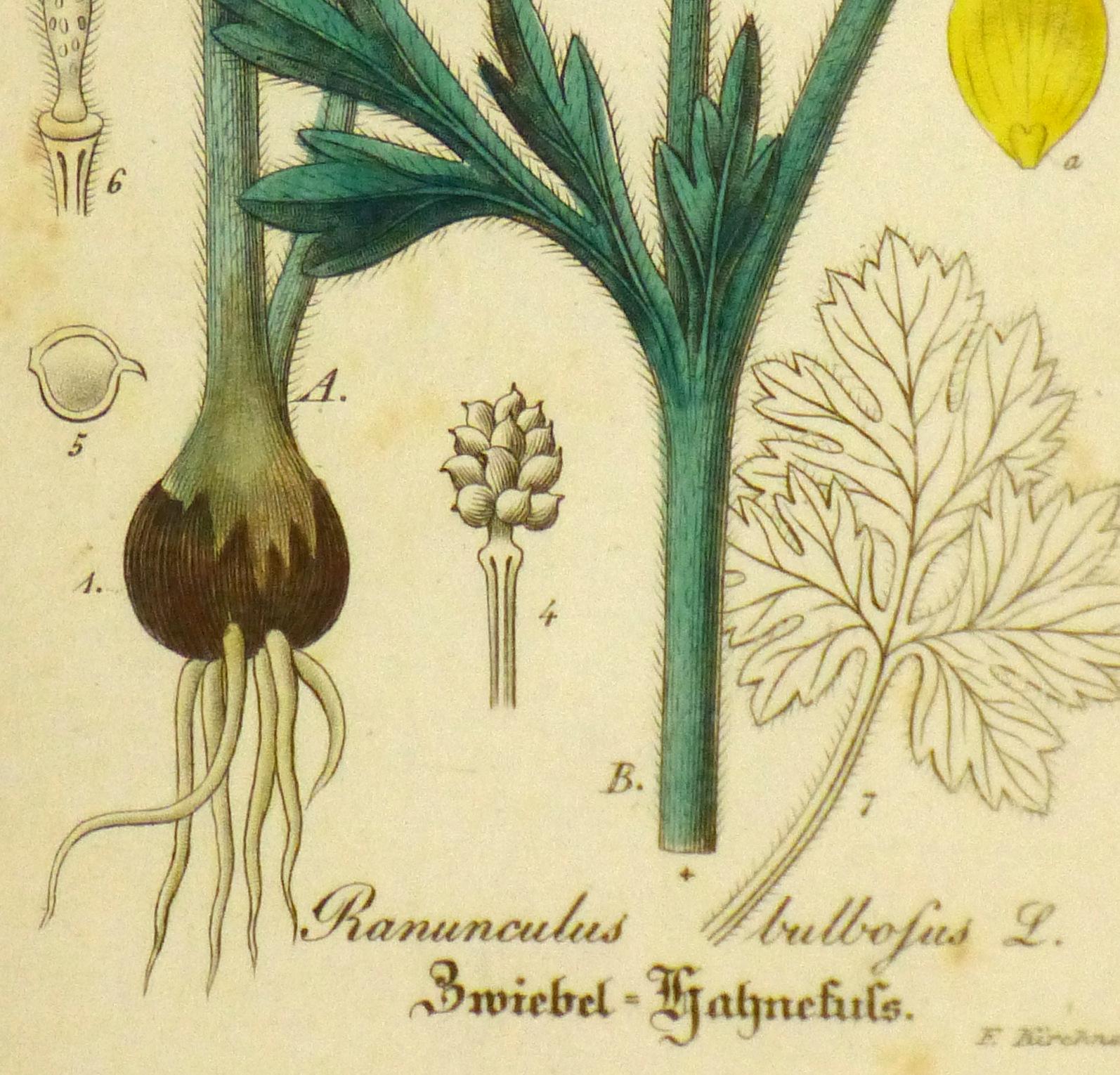 Buttercup, Circa 1830-detail-9031K