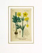 Buttercup, Circa 1830-matted-9031K