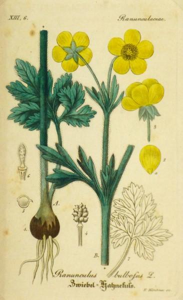 Buttercup, Circa 1830-main-9031K