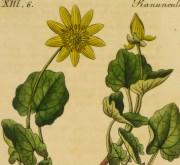 Lesser Celandine, Circa 1830-detail 2-9032K