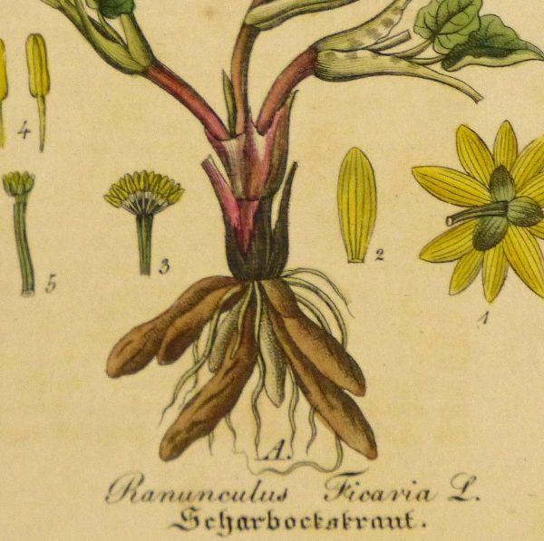 Lesser Celandine, Circa 1830-detail-9032K