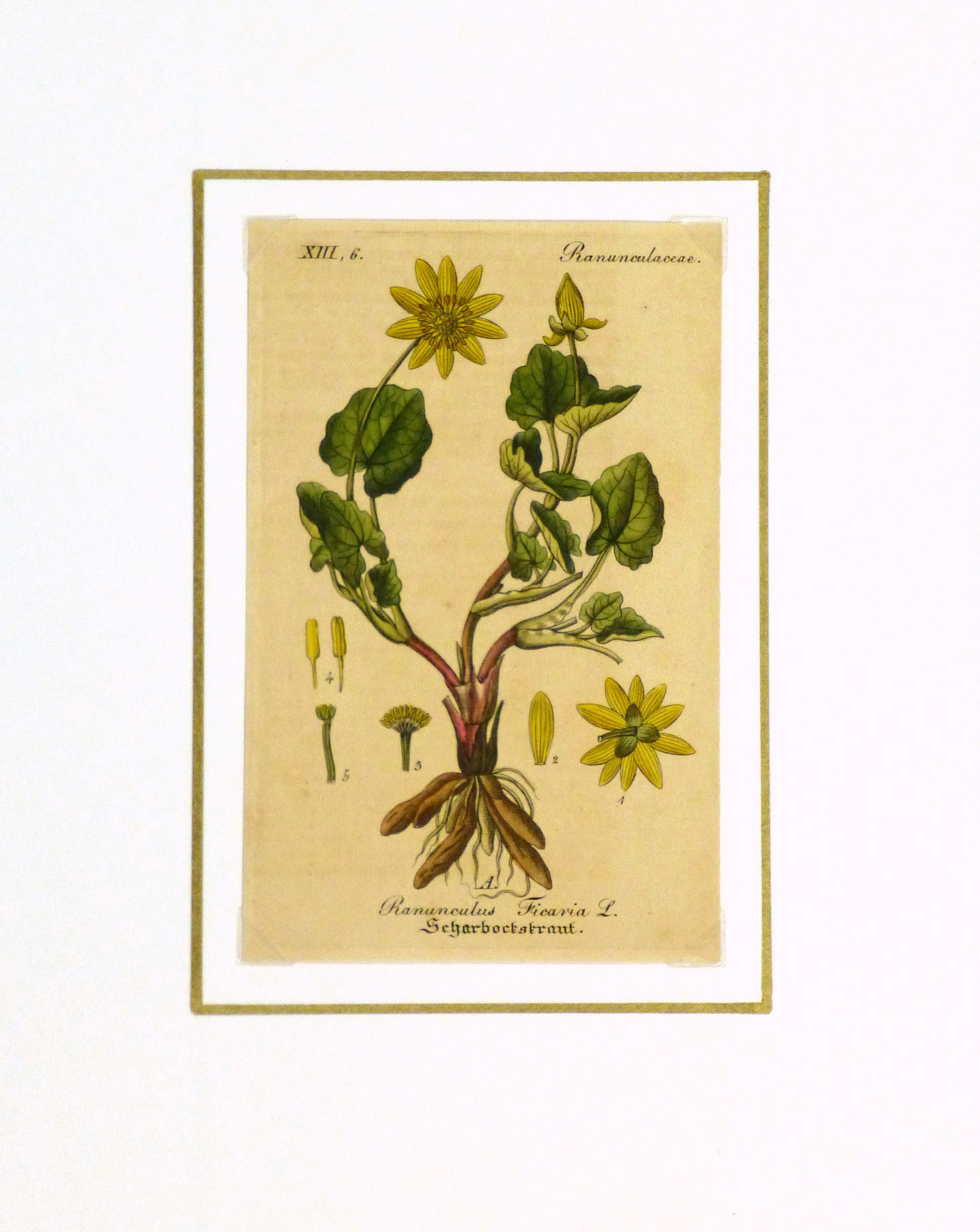 Lesser Celandine, Circa 1830-matted-9032K