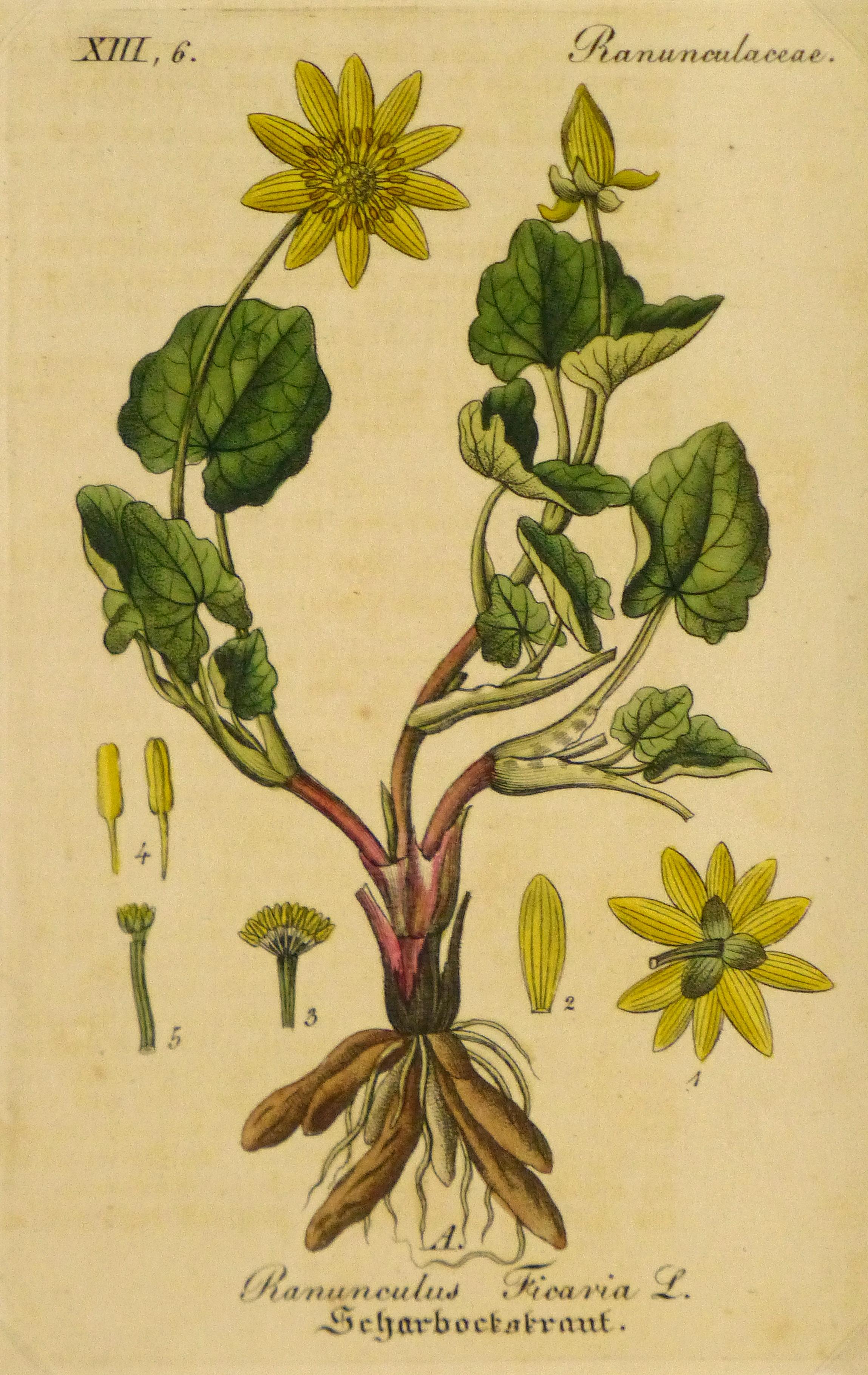 Lesser Celandine, Circa 1830-main-9032K