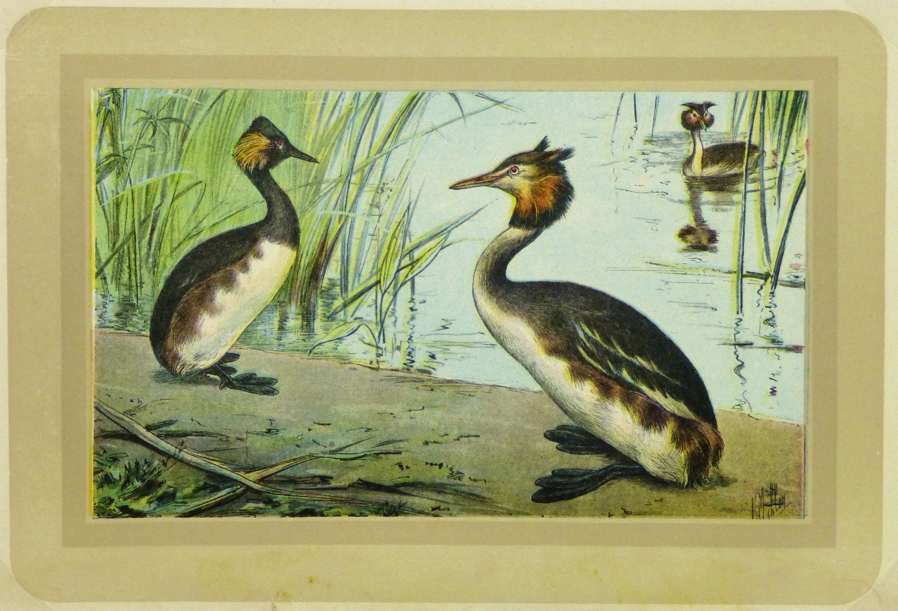 Great Crested Grebe Print, Circa 1920-main-9216K
