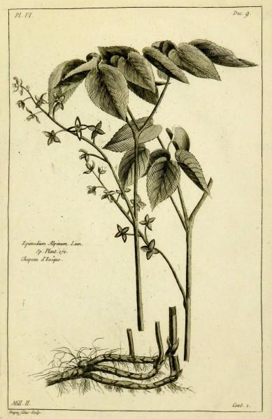 Epimedium Alpinum, 1773-main-KB1144