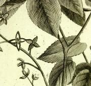 Epimedium Alpinum, 1773-detail-KB1144