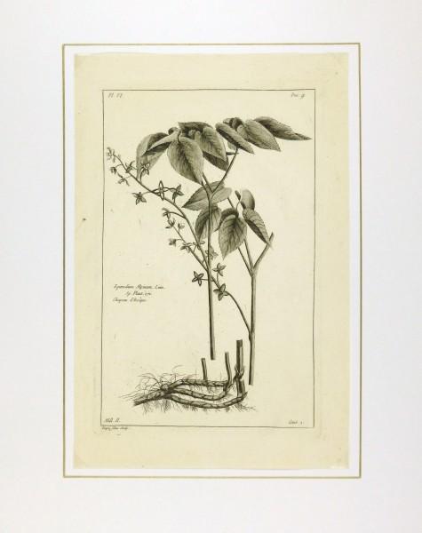 Epimedium Alpinum, 1773-matted-KB1144