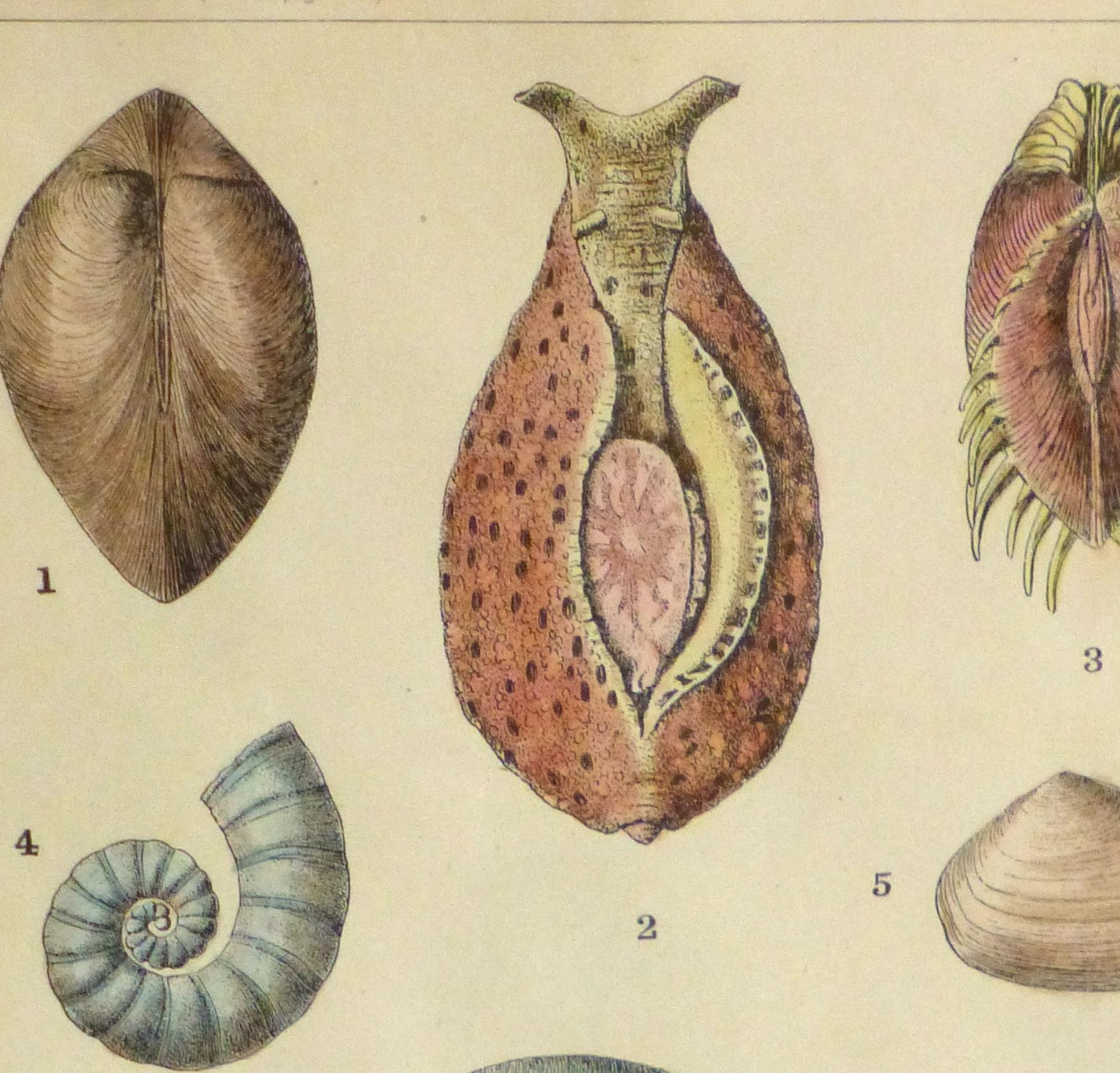 Shell Print, 1900-detail 2-10459M