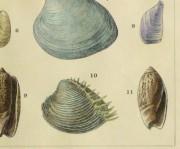 Shell Print, 1900-detail-10459M